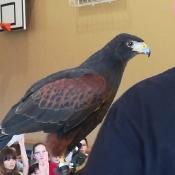 Ptaki drapieżne_23